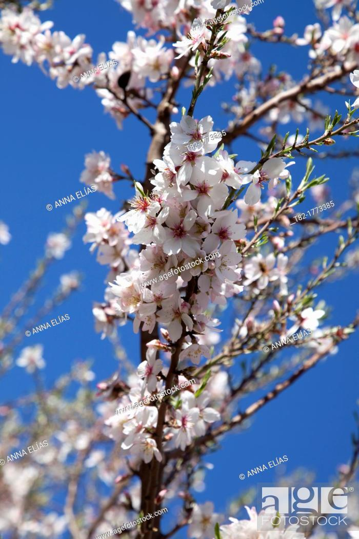 Stock Photo: branch peach tree flower on blue background.