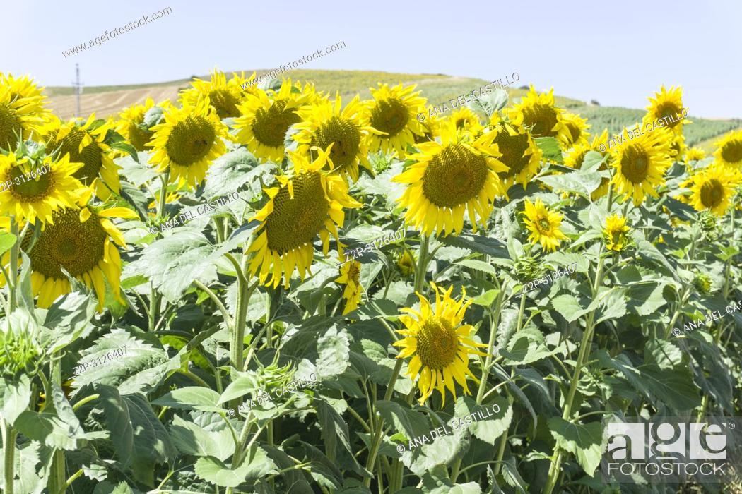 Stock Photo: Sunflower plantation Teruel province Spain.