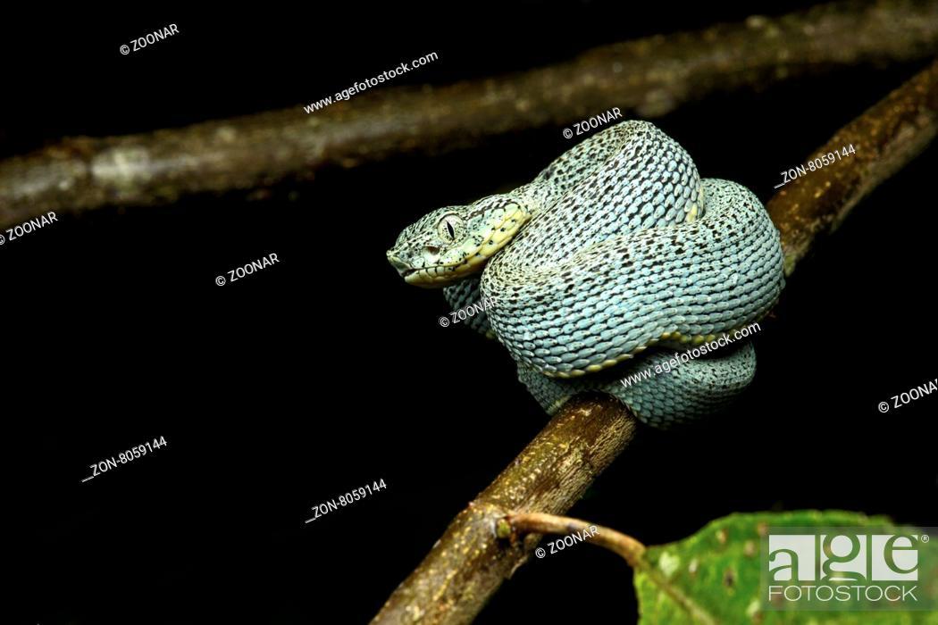 Stock Photo: Jungtier der giftigen Amazonas Lanzenotter (Bothriopsis bilineata), Familie der Vipern (Viperidae), Amazonas Regenwald, Yasuni Nationalpark.