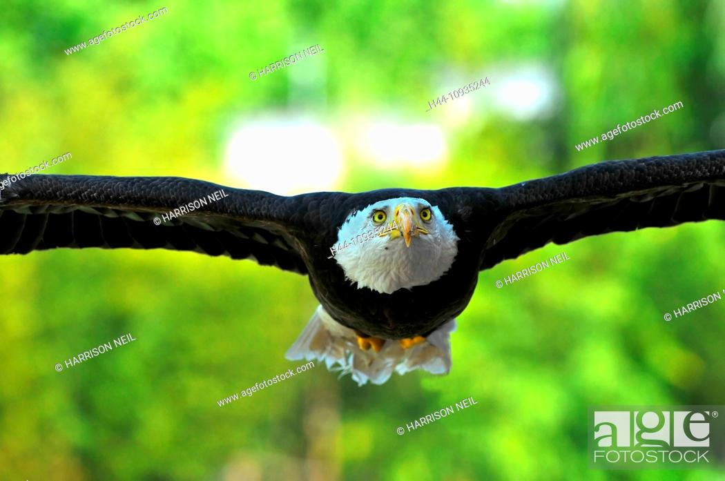 Stock Photo: Bald Eagle gliding low with outstretched wings.