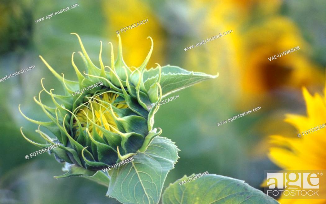 Stock Photo: helianthus, beaming, calf, bright, blitheful, Lower Austria, austria.