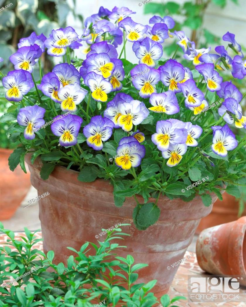 Stock Photo: Pansies 'Blue Seal' in flowerpot.