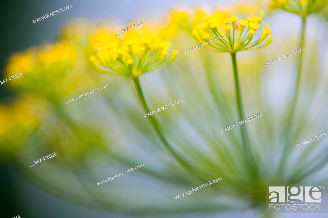 Stock Photo: Dill herb in bloom (Anethum graveolens). Maryland, USA.