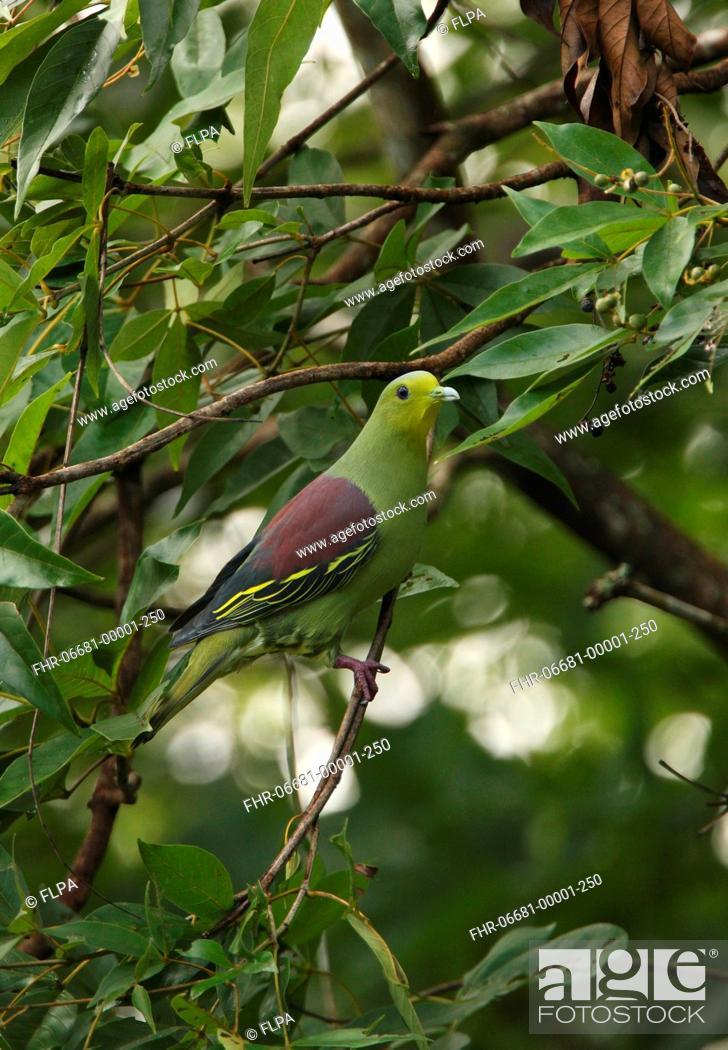 Stock Photo: Ceylon Green Pigeon Treron pompadora adult male, perched in tree, Sri Lanka, december.