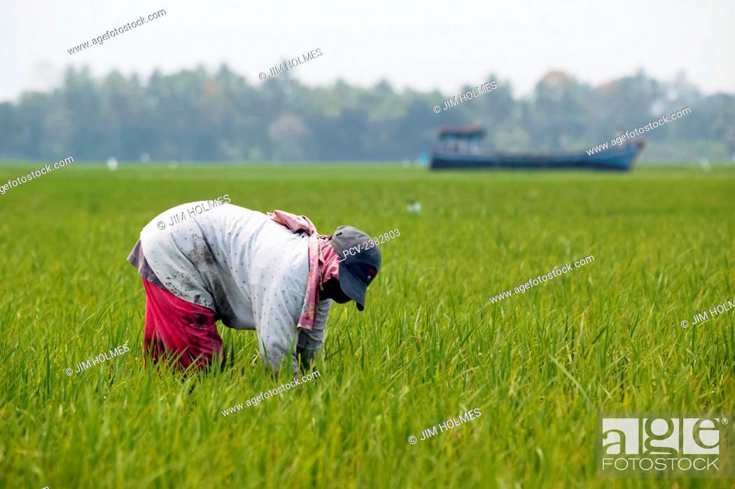 Stock Photo: Farmer working in rice fields where a stranded fishing boat lies stuck in the middle of the fields, close to Lamno, after the Indian Ocean tsunami of 2004; Aceh.