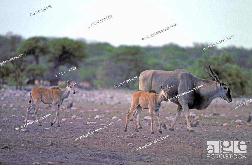 Stock Photo: Eland, Taurotragus oryx, Samburu Game Reserve, Kenya, Africa, adult females with youngs.