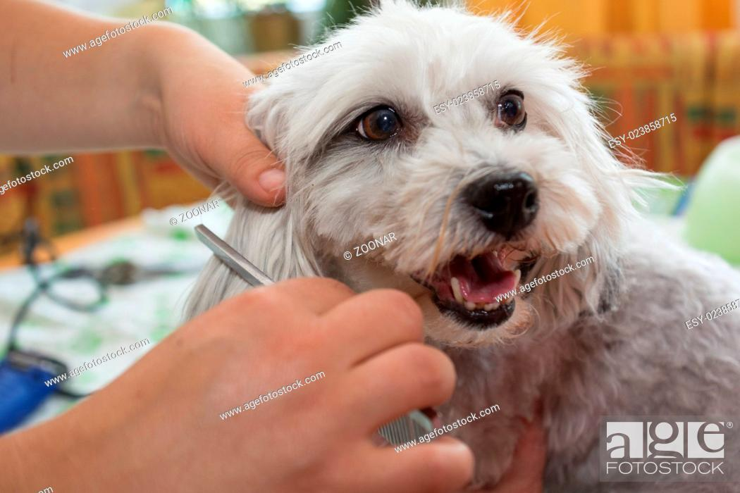 Stock Photo: Grooming with a small white dog.