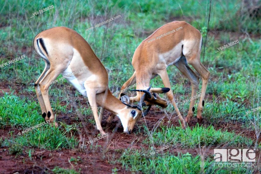 Stock Photo: Two male impala lock horns Tsavo East National Park Kenya.