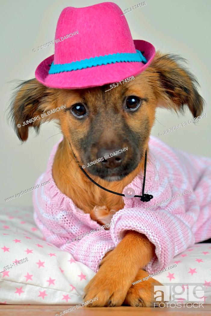 Miexed-breed dog. Puppy (4 month old) with a hat and knitted jacket ... 4c9aa0faebf
