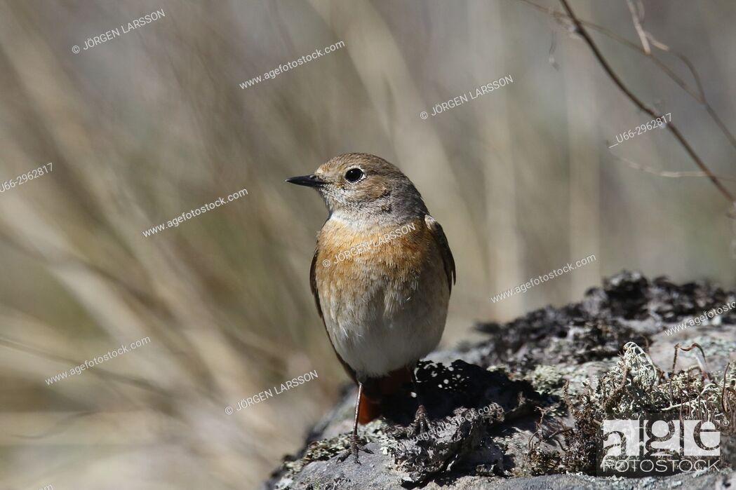 Imagen: Starfinch (Phoenicurur phoenicurus), Smaland, Sweden.