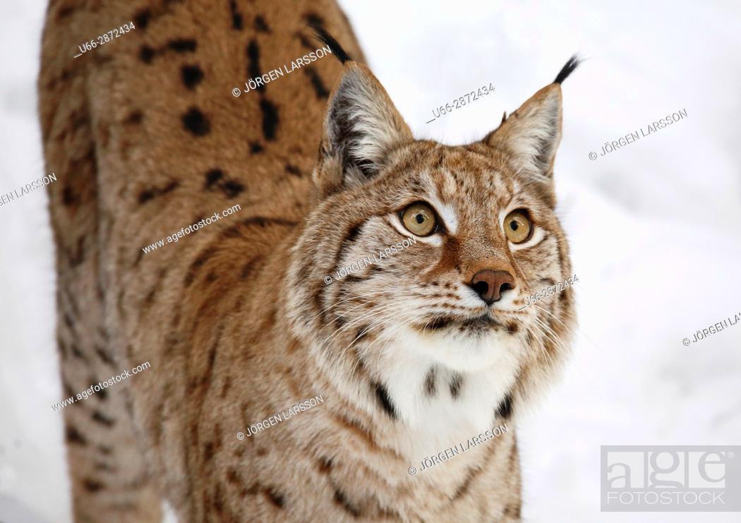 Imagen: Lynx Halsingland Sweden.