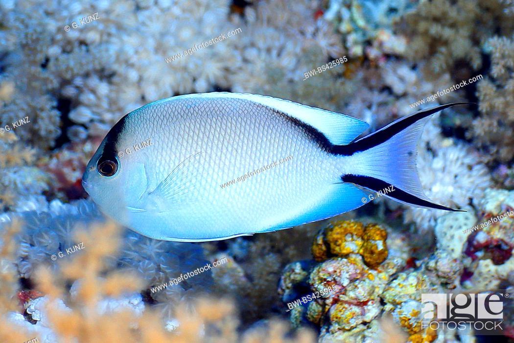 Stock Photo: Zebra angelfish, Lyretail angelfish (Genicanthus caudovittatus), female, Egypt, Red Sea.