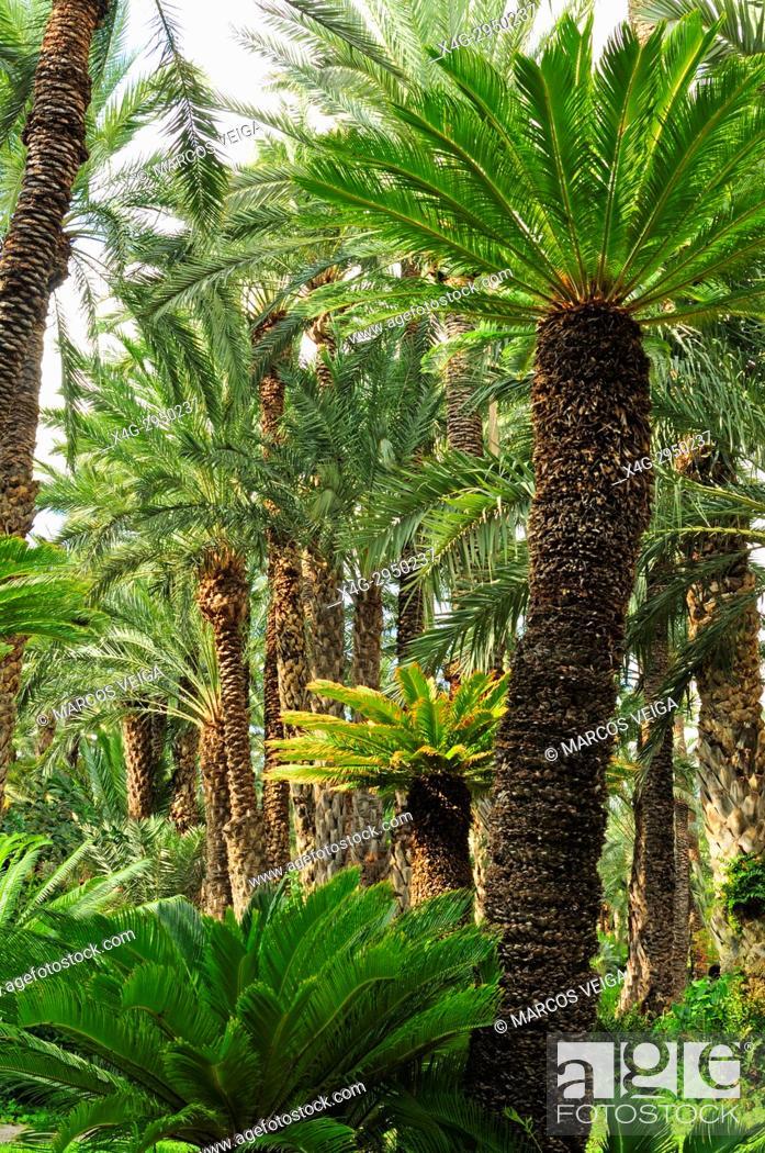 Stock Photo: Palm trees at the Huerto del Cura, National artistic garden. Elche, Alicante, Spain.