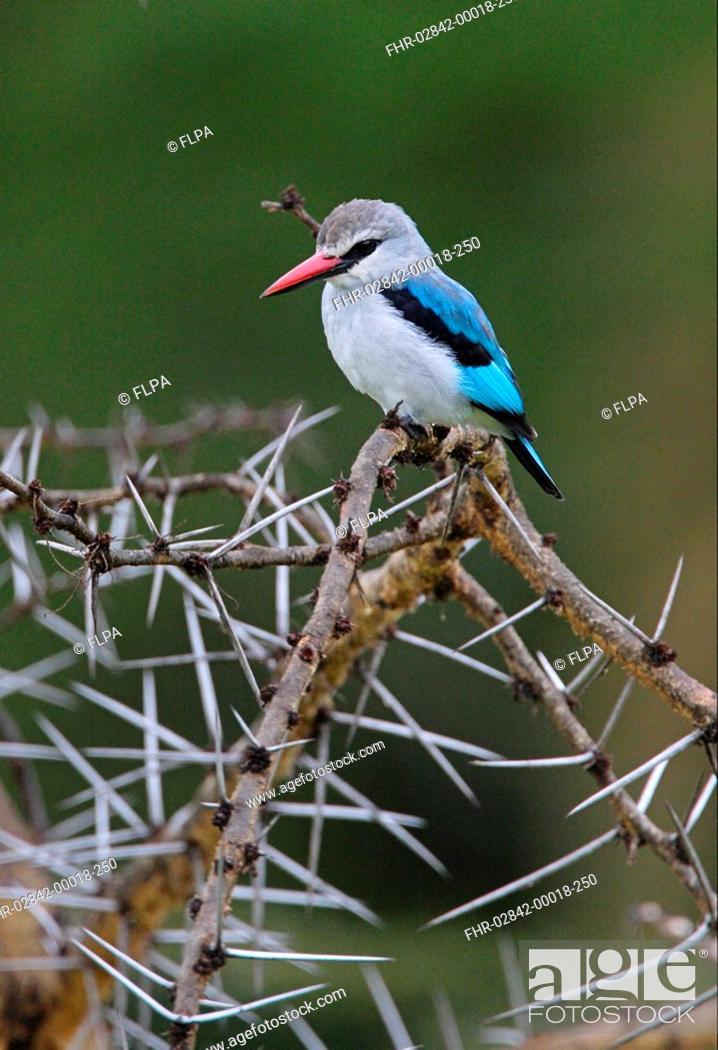 Stock Photo: Woodland Kingfisher Halcyon senegalensis senegalensis adult, perched in thorn bush, Lake Naivasha, Kenya, october.