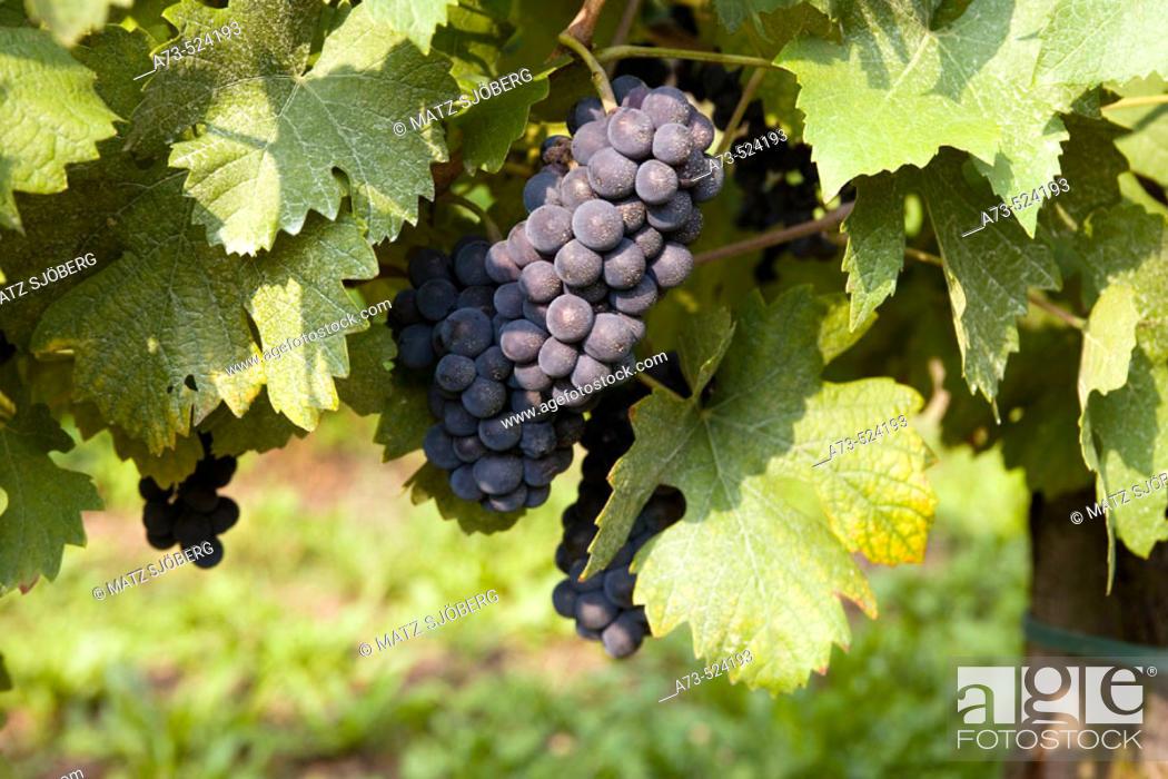 Stock Photo: Contadi Castaldi wine producer. Pinot Noir grapes. Adro (Brescia), Lombardy, Italy.