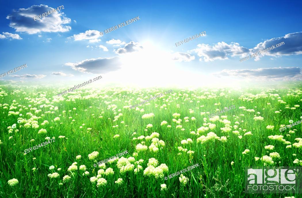 Imagen: Field of white flowers and green grass in spring.
