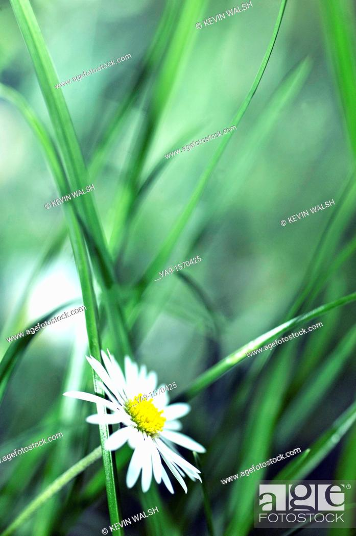 Stock Photo: Oxey Daisey leucanthemum Vulgare in the undergrowth.