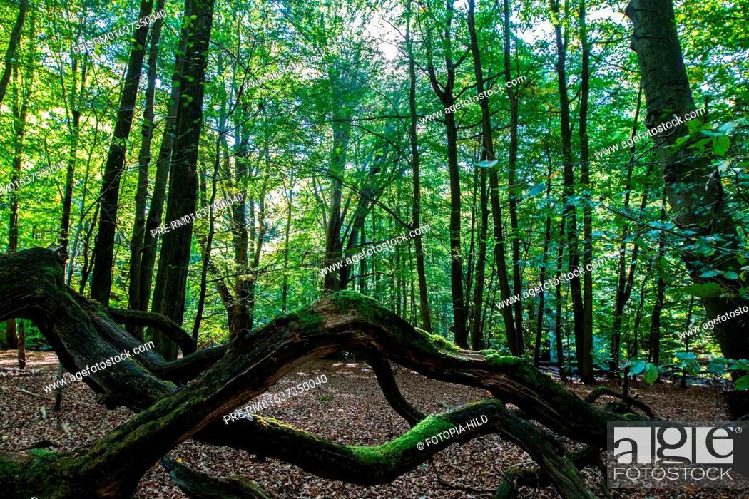 Stock Photo: Ancient forest of Sababurg, Reinhardswald, Kassel district, Hesse, Germany / Urwald Sababurg, Reinhardswald, Landkreis Kassel, Hessen, Deutschland.