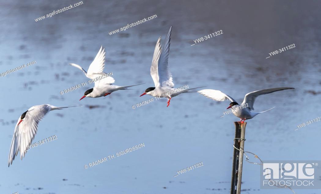Stock Photo: Arctic Terns, Breidafjordur, West Fjords, Iceland.