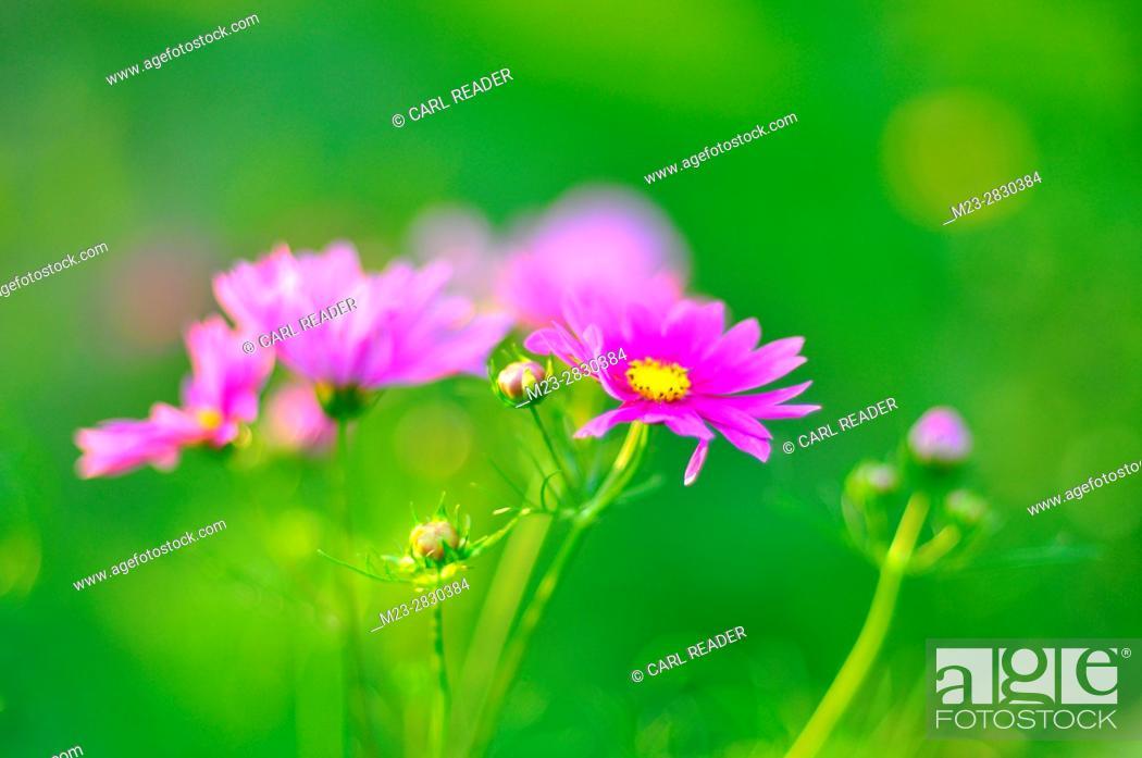 Stock Photo: A soft-focus depiction of cosmos flowers, Pennsylvania, USA.