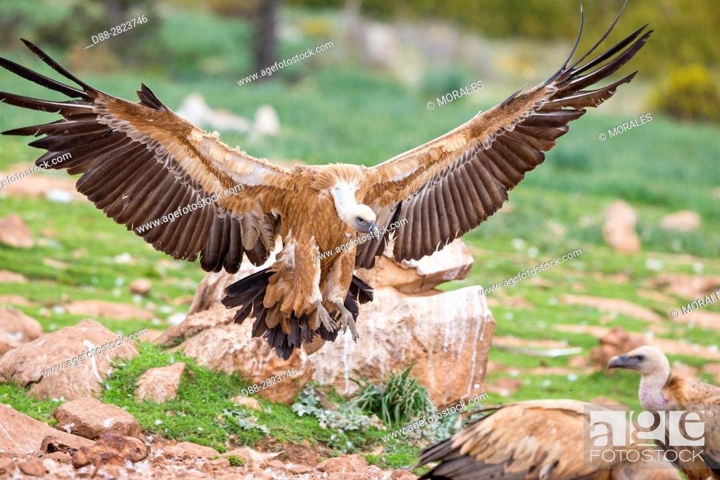 Stock Photo: Europe, Spain, Catalonia, Lerida province, Boumort, Griffon vulture in the game reserve, feeding station.