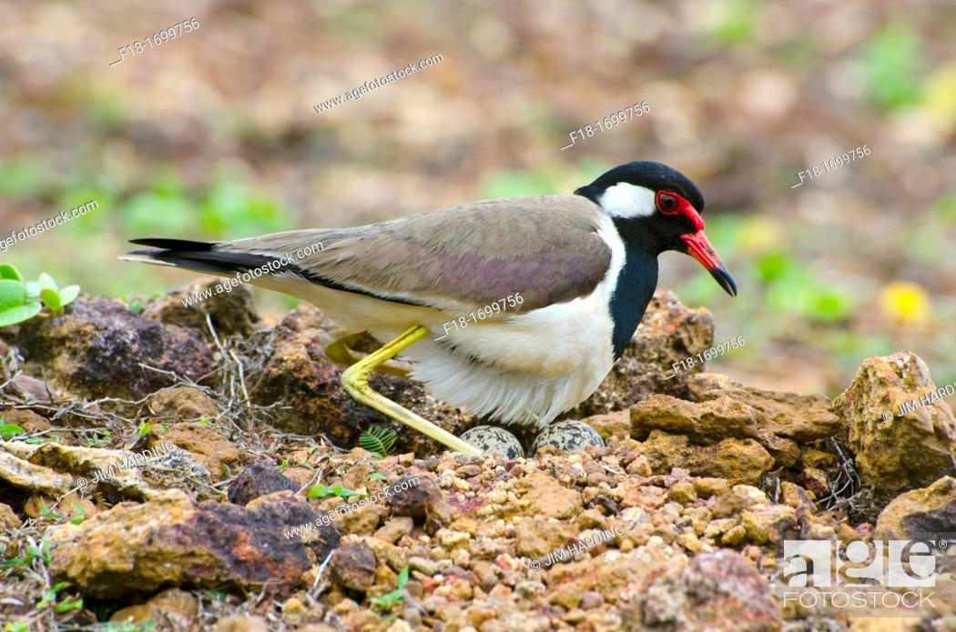 Stock Photo: Red wattled lapwing settling to incubate eggs, Sri Lanka.