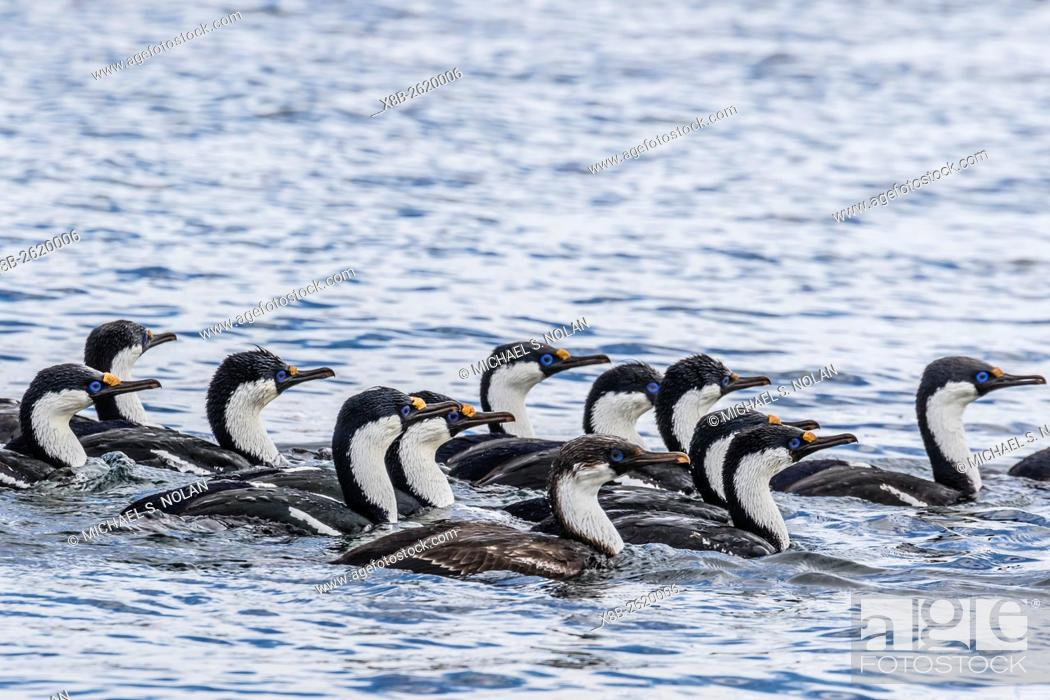 Imagen: Adult blue-eyed shags, Phalacrocorax atriceps, foraging in a group in Dorian Bay, Antarctica.
