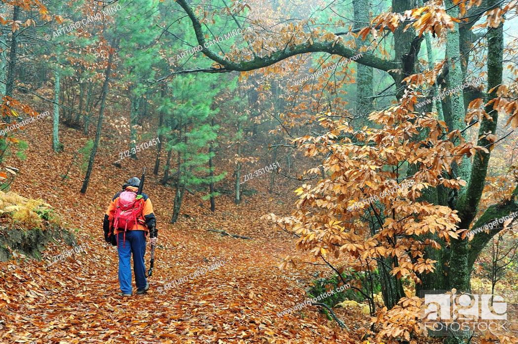 Stock Photo: Hiker in the Forest of El Castañar (Chesnut grove) in autumn. Casillas town, Avila province, Spain.