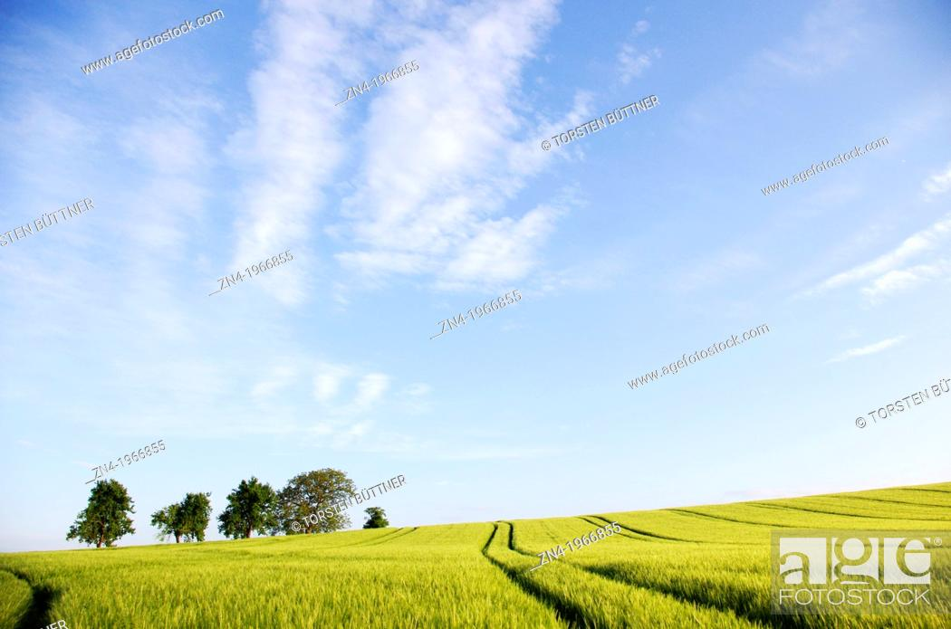 Stock Photo: A Wheat Field with Machine Trails and Trees at Early Sunset. Bad Schallerbach. Austria.