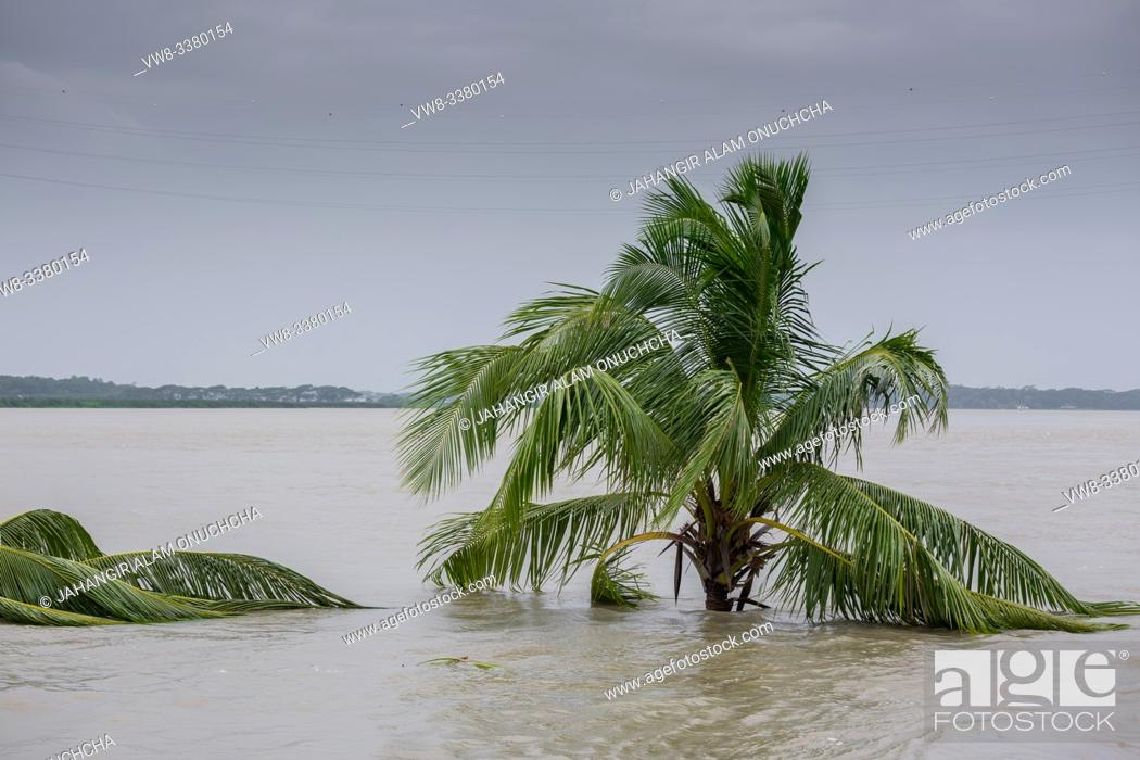 Stock Photo: Bangladesh - June 27, 2015: A whole coconut tree is submerged in river, effect of massive river erosion at Rasulpur, Barisal District.