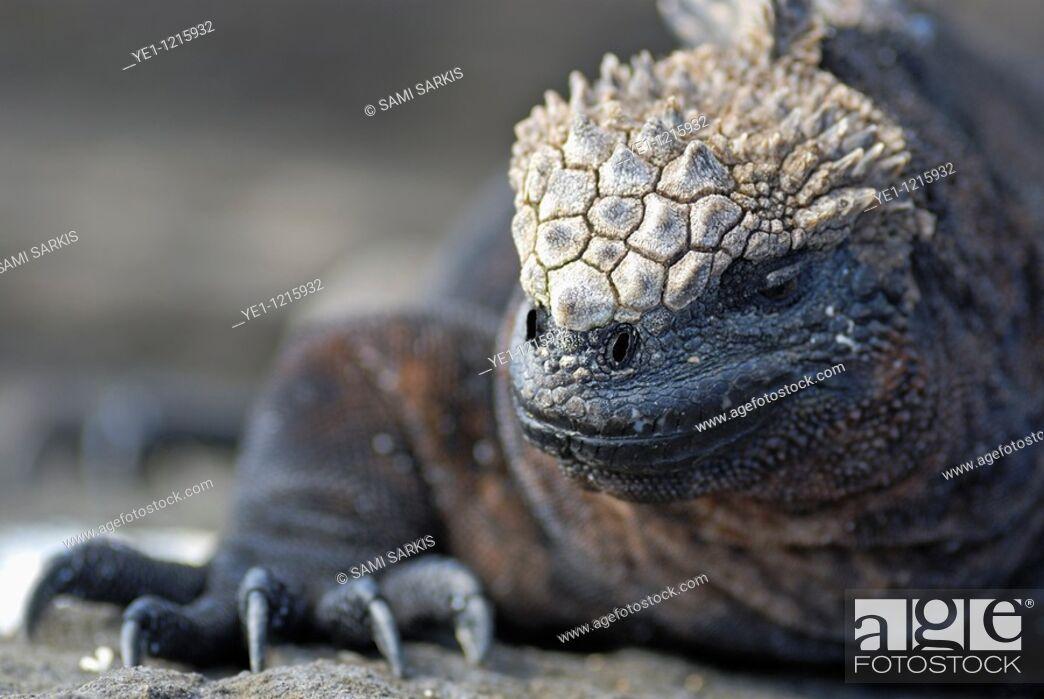 Stock Photo: Marine Iguana (Amblyrhynchus cristatus), Espagnola Island, Galapagos Islands, Ecuador.