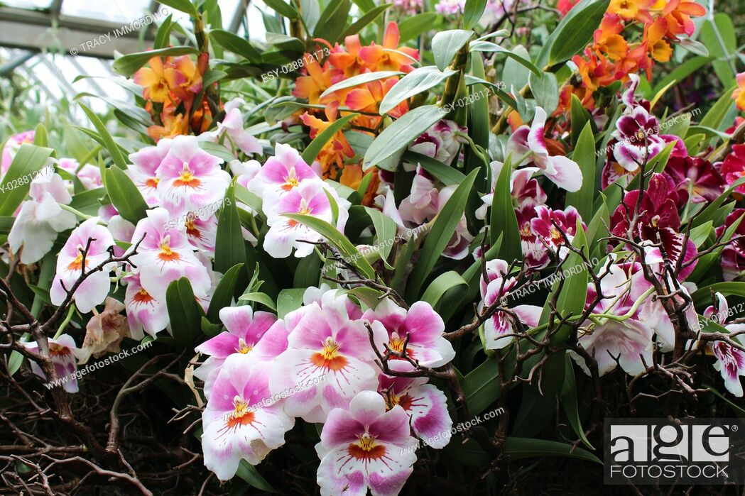 Stock Photo: A grouping of pink, white, orange and yellow Miltoniopsis orchid flowers in full bloom surrounded by branches, orange Cattleya and red Miltoniopsis orchids in.