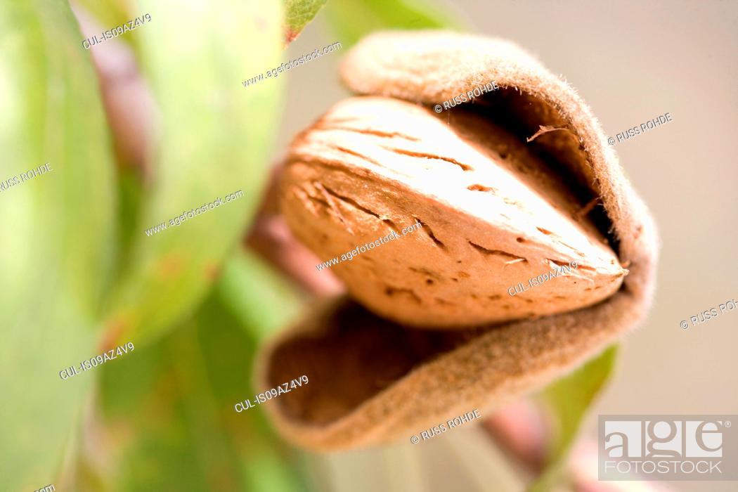 Stock Photo: Close up of ripe almond (Prunus dulcis) in tree.