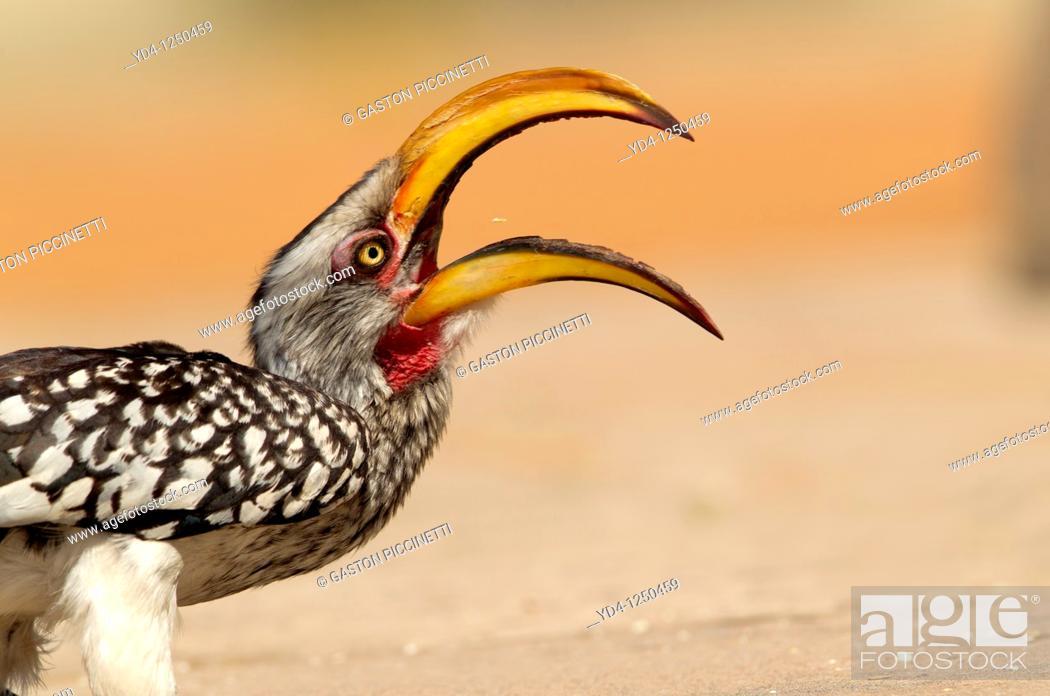 Stock Photo: Yellowbilled hornbill Tockus flavirostris, eating, Mabuasehube, Kgalagadi Transfrontier Park, Kalahari desert, Botswana.