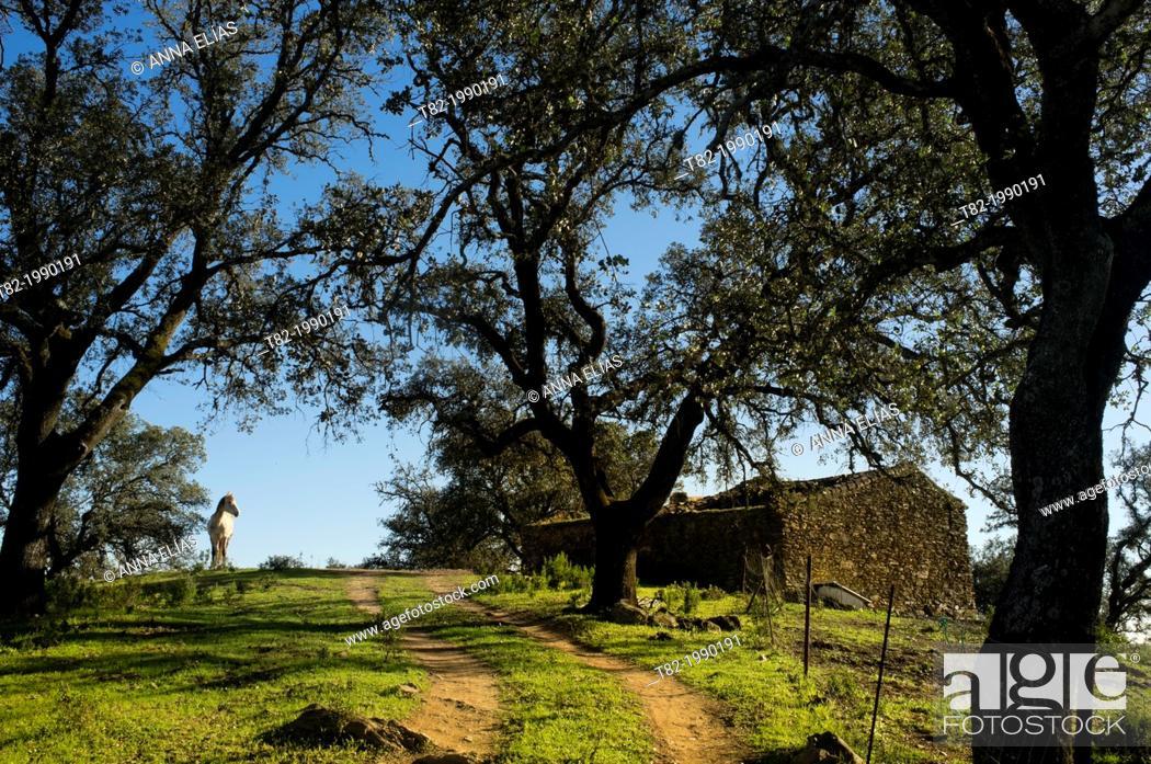 Stock Photo: landscape oaks with white horse stone house, Rio Tinto, Huelva, Andalucia, Spain.