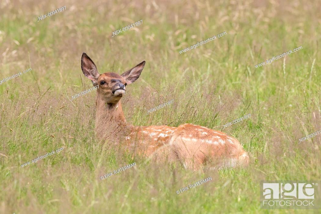 Stock Photo: Red Deer (Cervus elaphus) calf resting in grassland, The Netherlands, Hoge Veluwe.
