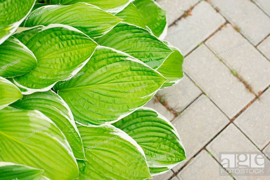 Stock Photo: Leaves hosta on the background of paving slabs.