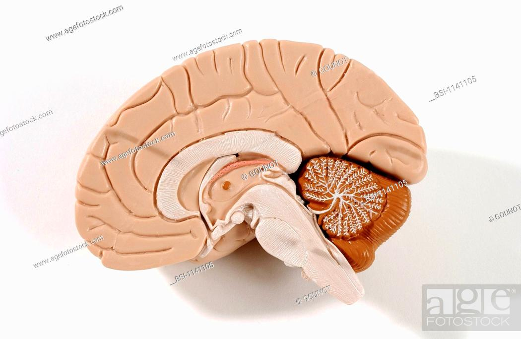 Anatomical Model Of The Human Brain Or Encephalon Cross Section
