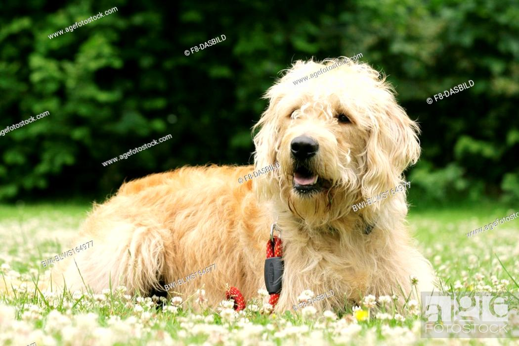 Stock Photo: Labradoodle Canis lupus f. familiaris, lying in a meadow, crossbreed or hybrid dog created by crossing the Labrador Retriever and the Standard or Miniature.