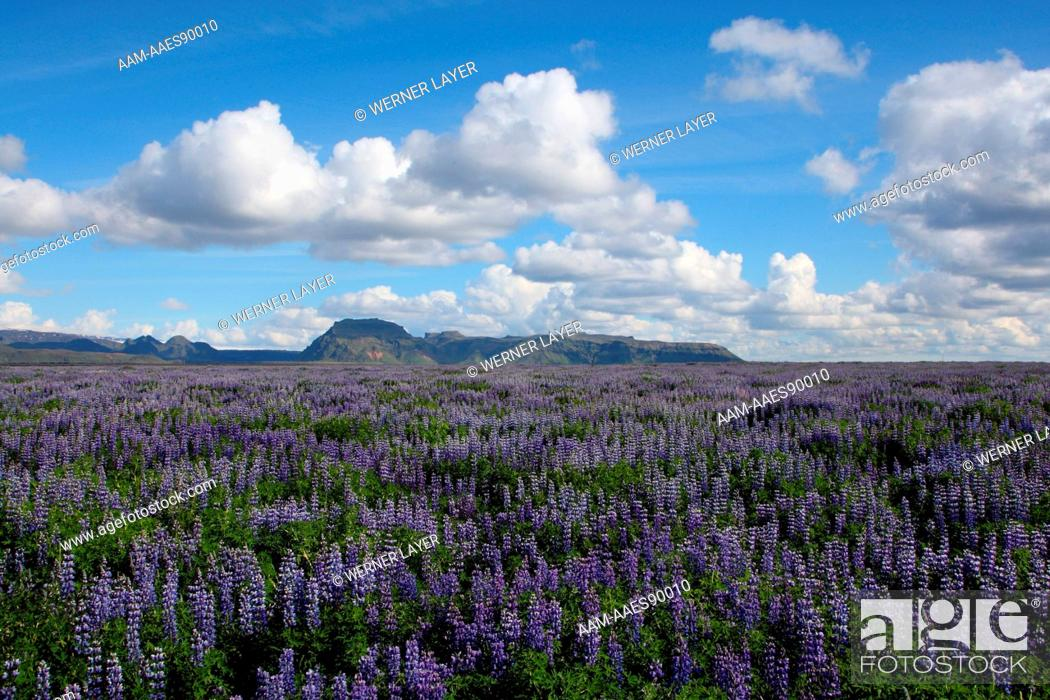 Stock Photo: Field of Lupines in bloom, Iceland.
