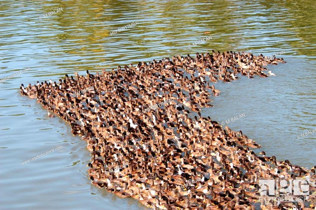 Stock Photo: DUCKS MOVING ACROSS CANAL IN KUTTANAD BACKWATERS.