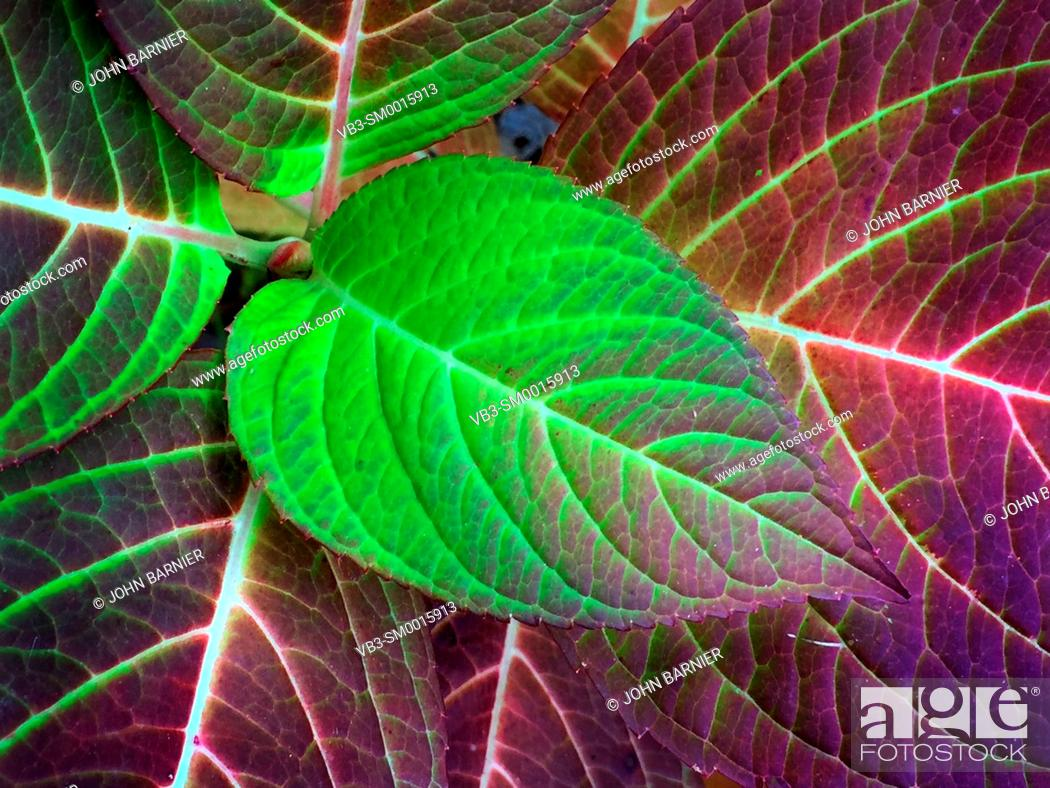 Stock Photo: Hydrangea leaves in their bright green and red autumn colors.