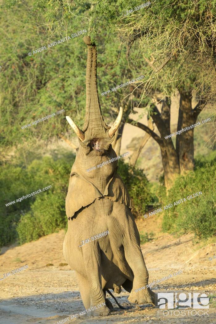 Imagen: African Elephant, Desert-adapted Elephant (Loxodonta africana) bull eating leaves and twigs of acacia tree, Hoanib desert, Kaokoland, Namibia.