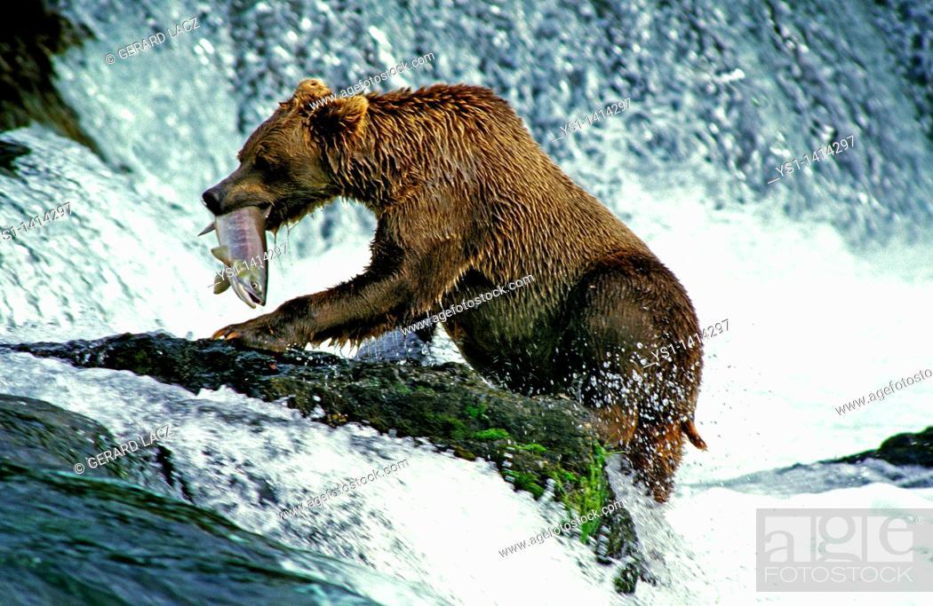Stock Photo: GRIZZLY BEAR ursus arctos horribilis, ADULT FISHING SALMON, BROOKS FALLS IN ALASKA.