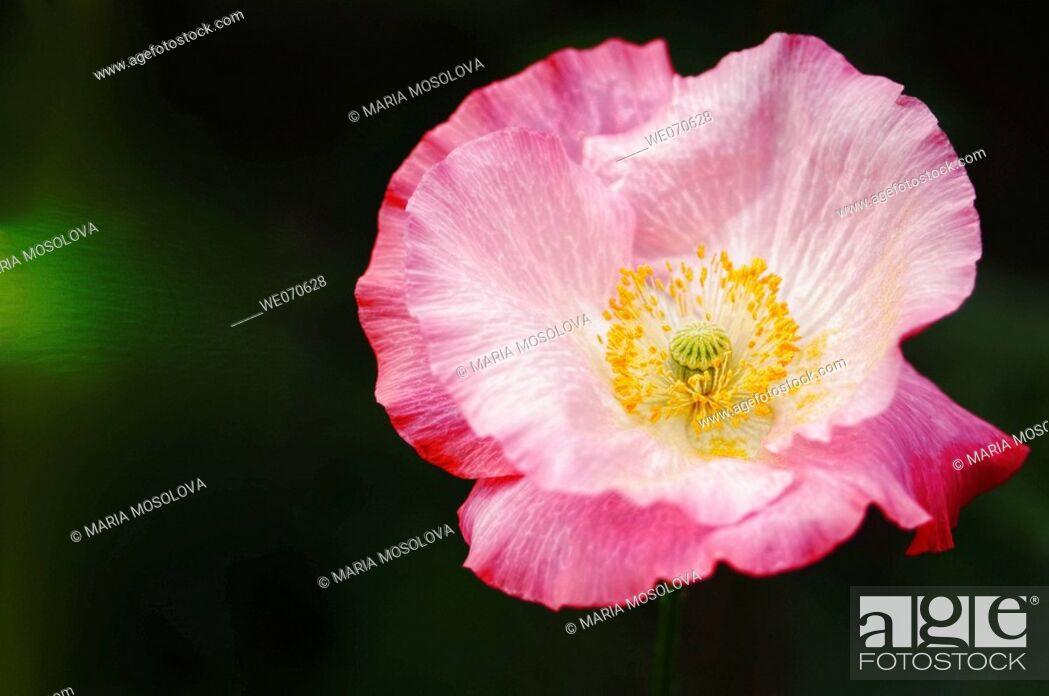 Stock Photo: Pink Shirley Poppy (Corn Poppy, Flanders Poppy). Papaver rhoeas. June 2005, Maryland, USA.