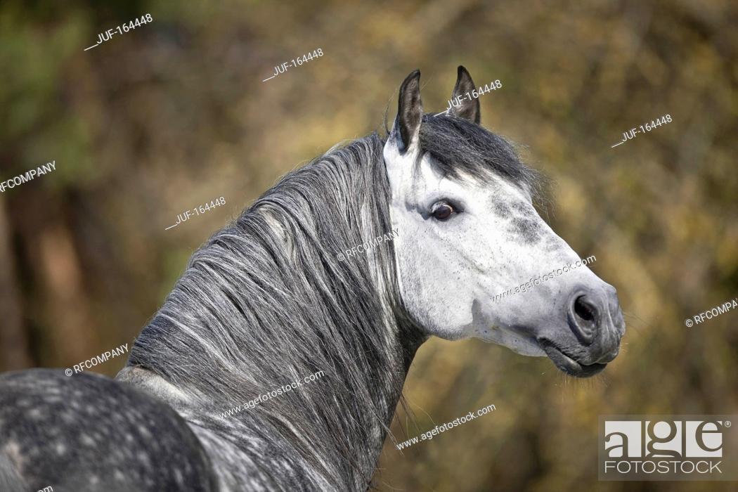 Imagen: Pure Spanish-bred horse - portrait.