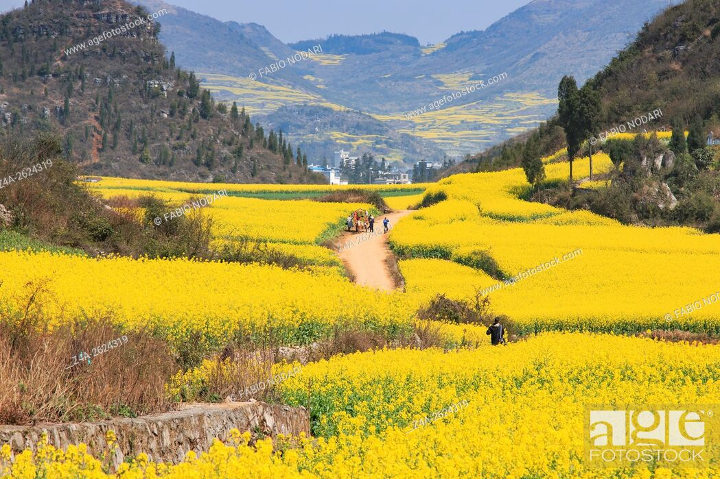 Stock Photo: Rapeseed flowers of Luoping in Yunnan China.