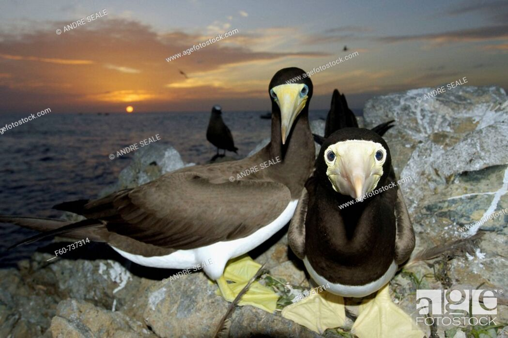 Stock Photo: Brown boobies, Sula leucogaster, at sunset, St  Peter and St  Paul's rocks, Brazil, Atlantic Ocean.