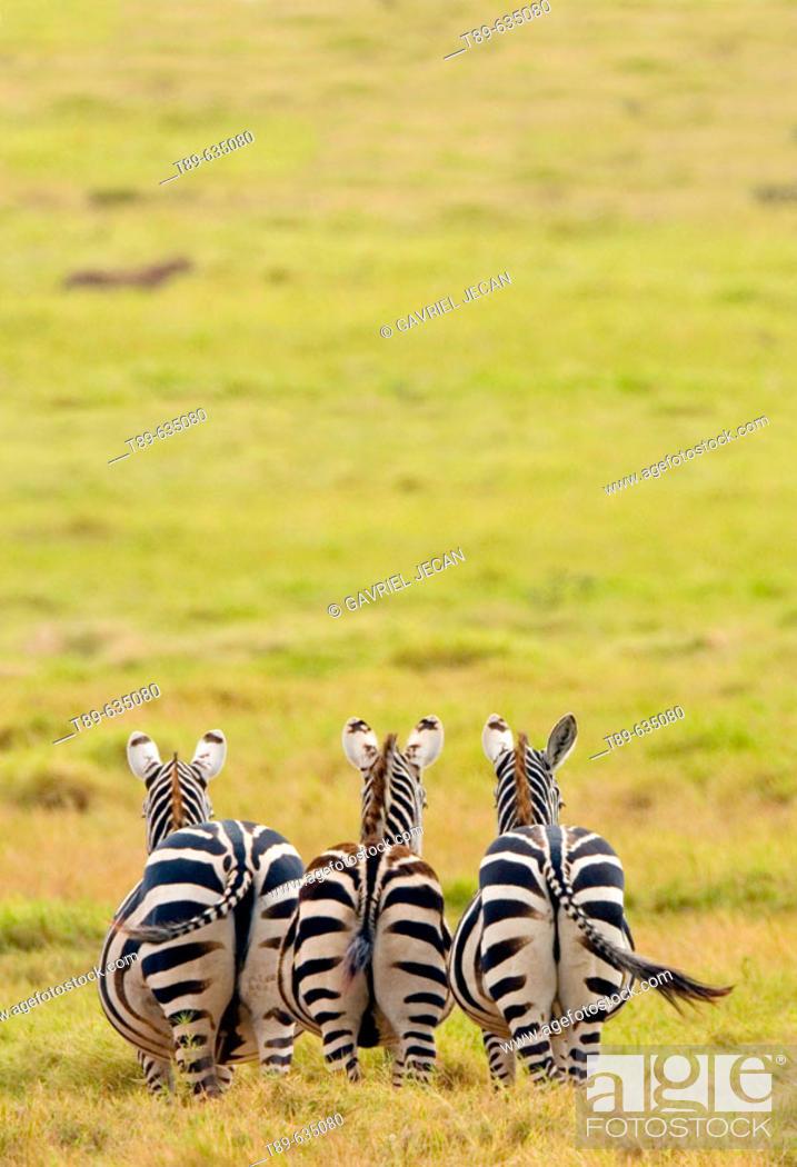 Stock Photo: Plains  Zebra (Equus bruchelli) grazing in golden grass.