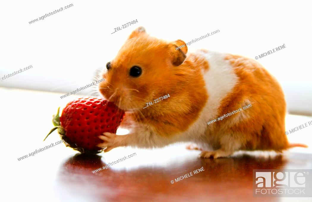 Teddy Bear hamster eating a strawberry, Stock Photo, Picture